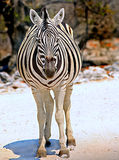A Full Frame of a zebra Stock Photos