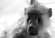 Full framed portrait of a charm baboon in black white looking directly ahead. Close up of a chacma baboon face looking directly ahead in black and white. South stock images