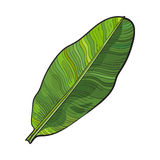 Full fresh leaf of banana palm tree, sketch vector illustration Stock Image
