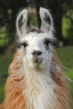 Full Frontal Female Llama Royalty Free Stock Images