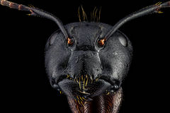 Full frontal portrait of an ant Stock Images