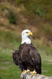 Full frontal shot of a Bald Eagle sitting at the Grouse Mountain, Vancouver, Canada Royalty Free Stock Photo