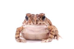 Full frontal of a toad isolated Stock Photo