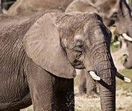 Full fullvuxen elefant royaltyfria bilder