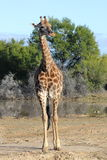 full giraffstående Royaltyfri Bild