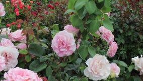 Full gräns - rosa rosor med rött och apelsinen blommar i bakgrunden lager videofilmer