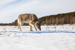 A full-grown gray wolf sneaks along a snowy winter field amid a forest royalty free stock photo