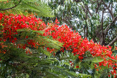 Full grown red colored tree on a road to hill station,Salem, Yercaud, tamilnadu, India, April 29 2017 Stock Photo