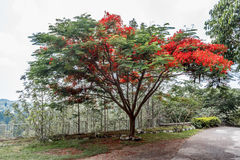 Full grown red colored tree on a road to hill station,Salem, Yercaud, tamilnadu, India, April 29 2017 Royalty Free Stock Photography