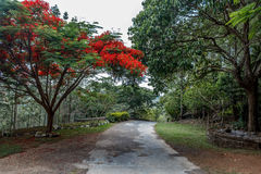 Full grown red colored tree on a road to hill station,Salem, Yercaud, tamilnadu, India, April 29 2017. Full grown red colored tree on a road to hill station Royalty Free Stock Photos
