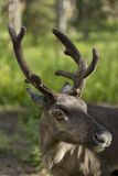 Full grown shaggy Reindeer with peeling shedding Stock Photography