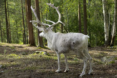Full grown shaggy Reindeer with peeling shedding Stock Image