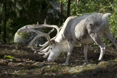 Full grown shaggy Reindeer with peeling shedding Royalty Free Stock Photo
