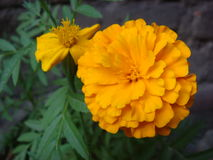 Full and half bloomed marigold flowers. Picture of full and half bloomed marigold flowers royalty free stock image