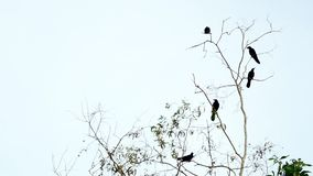 Full HD-1080x1920p. Video clip, closeup - nature  crow on the tree. Nature background stock video footage