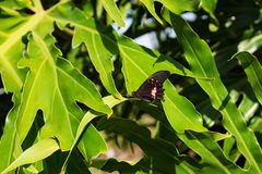 Butterfly in a green leaf royalty free stock image