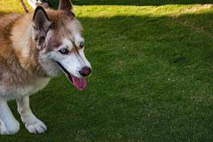 Husky with blue eyes and tongue royalty free stock image