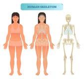 Human skeletal system, anatomical model. Medical vector illustration poster, educational information. Full human skeleton anatomical model. Medical vector Royalty Free Stock Image
