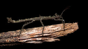 Full images of Stick insects Stock Image