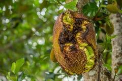 Full jackfruit på trädet Arkivfoton