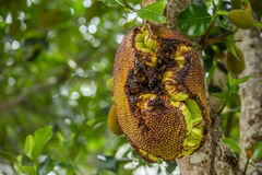 Full jackfruit on the tree. Stock Photos