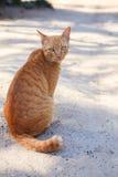 Full kropp av den siamese thai ögonkontakten för inhemsk katt med suddighetsbac Arkivfoton