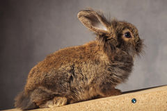 Full kropp av ett brunt sammanträde för kanin för lejonhuvudkanin Royaltyfri Bild