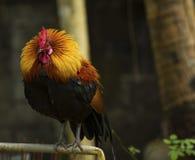 Full kropp av fågel för röd djungel för härlig culor manlig Arkivfoto