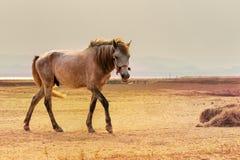 Full kropp för stående av den härliga vita manliga hästen med perfekt ri Royaltyfri Foto