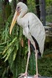 Full kroppstående av den mjölkaktiga storken Royaltyfria Foton