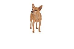 Full längd av en älsklings- hund Arkivbild
