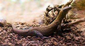 Full längd som skjutas av den Komodo draken Royaltyfria Bilder