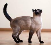 Full längd som skjutas av siamese katt Royaltyfri Foto