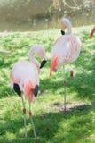 Full längdstående av två chilenska flamingo som putsar sig royaltyfria bilder