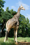 Full length body picture of a giraffe with trees Stock Image