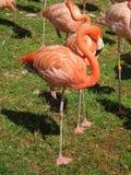 Full length of bright pink flamingo stock photos