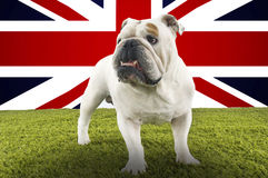 Full-length of British Bulldog standing in front of Union Jack Royalty Free Stock Photos