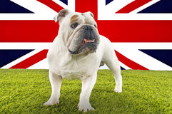 Full-length of British Bulldog standing in front of Union Jack Stock Image