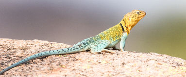 Full length collared lizard. In panoramic photograph Stock Photography