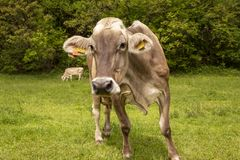 Full-length cow looking at the camera lens. Swss mountain stock photography