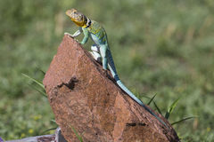 Full length eastern collared lizard Stock Images