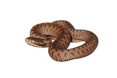 Full length on european common adder isolated on white Royalty Free Stock Images