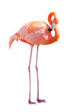 Full Length of Flamingo. Isolated over white Stock Images