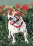 Full-length front portrait of adorable happy smiling small white and red dog jack russel terrier standing in flower bed in a summe stock photos