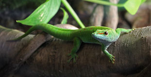Full length Gecko. A green Gecko, perched on a branch Royalty Free Stock Photos