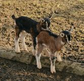 Full Length of a Goat Stock Photo