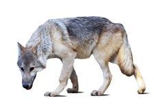 Full length of gray wolf Stock Photo