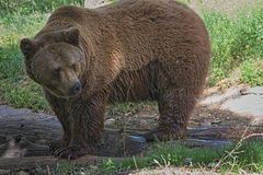 Full-length image of a brown bear stock photo