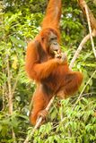Full length image of a female orangutan hanging in a tree in Borneo while eating