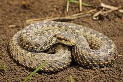 Free Full Length Image Of Vipera Ursinii Rakosiensis Stock Photos - 113472493